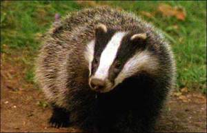 Badger facts - The Green Parent
